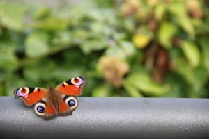 Die Leichtigkeit des Schmetterlings