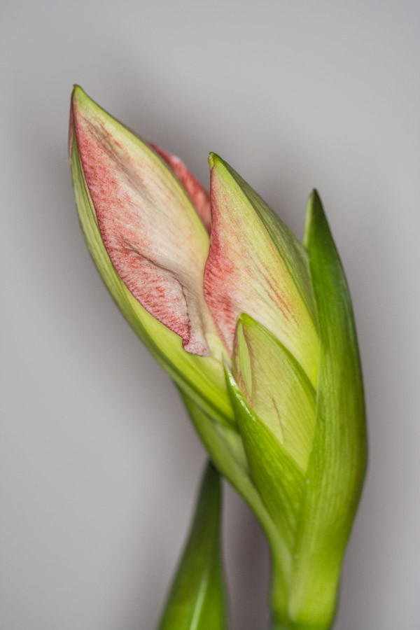 Amaryllis-Knospe