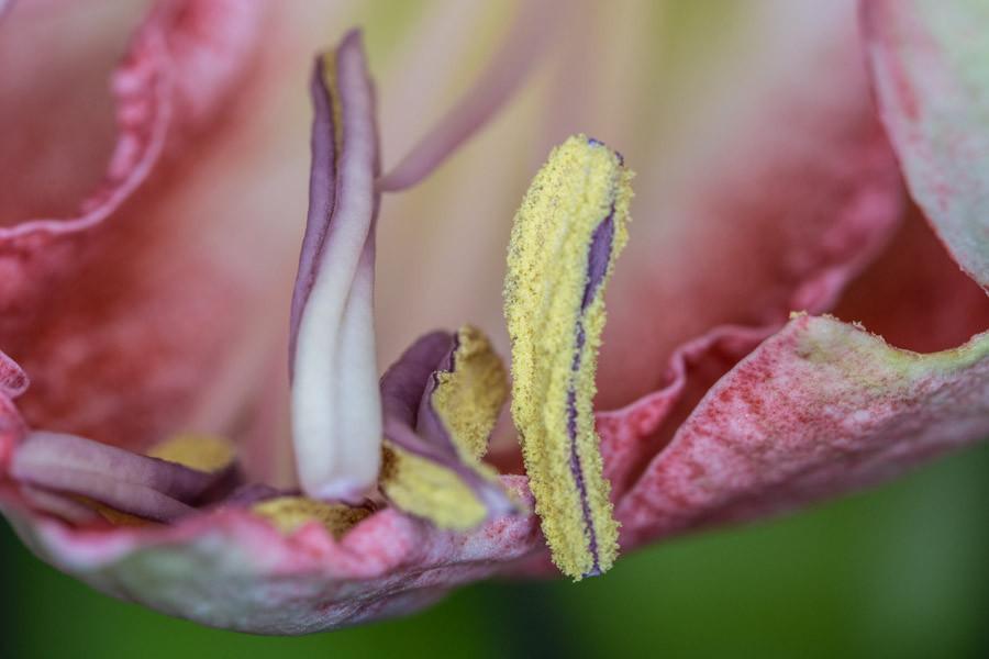 Amaryllis Blütenstempel
