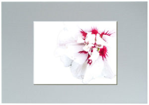 Hibiscus Highkey